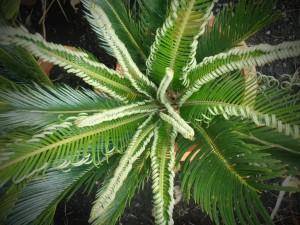 Cycas Revoluta - sago palm (2)