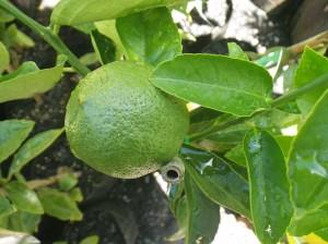 Meyer Lemon - Dwarf