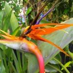 Strelitzia - Bird of Paradise - Regina