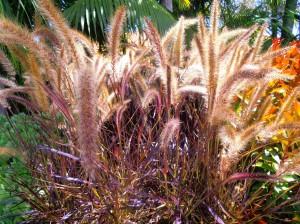 Pennistum setaceum rubrum - Fountain grass - purple