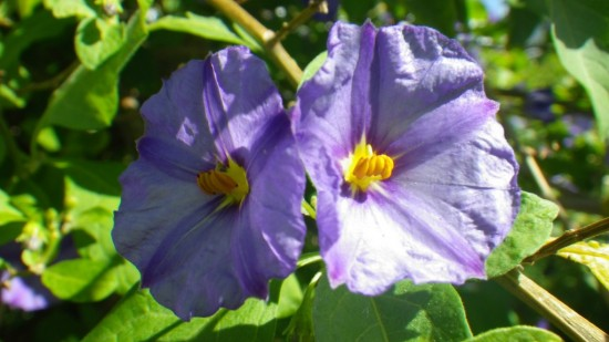 Name of purple flower small purple spring flower name pictures to common name solanum purple mightylinksfo