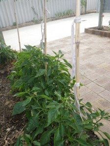 Capsicum staked