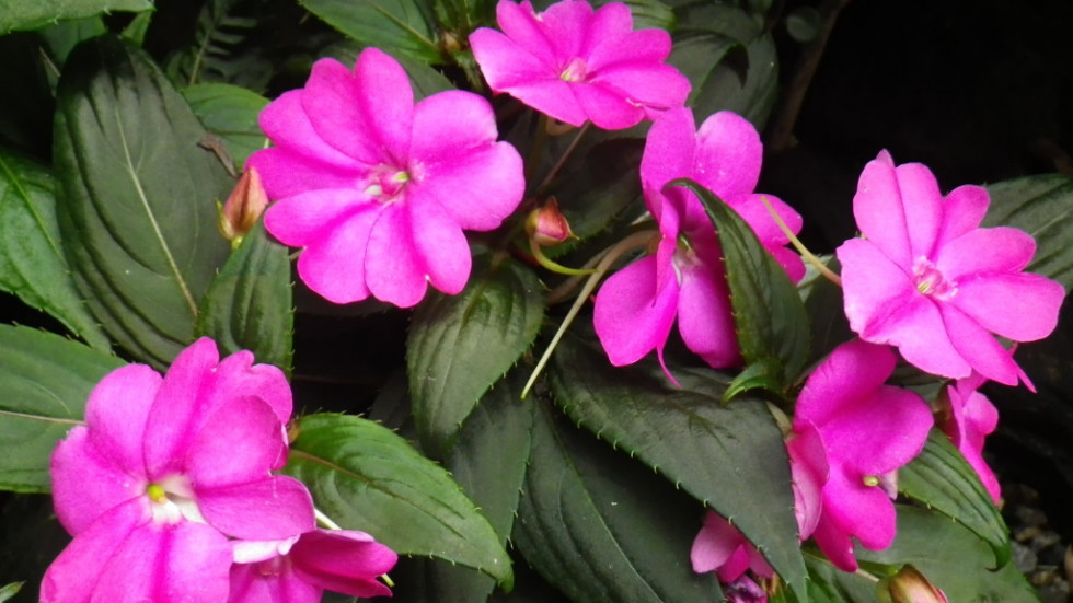 Introducing new plants landsdale plants New guinea impatiens