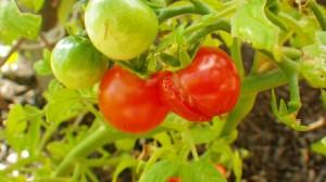 Split tomatoes
