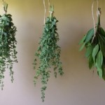 drying-herbs