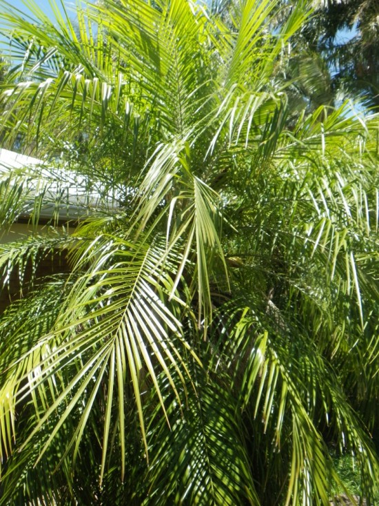 Dwarf Date Palm Indoor palm trees: big, small and cold hardy fast ...